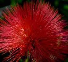 Red Pom Pom by Jason Dymock