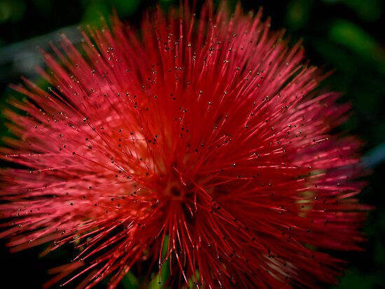 Red Pom Pom by Jason Dymock Photography
