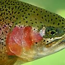 Oregon Rainbow Trout by Nick Boren