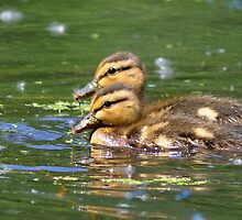 Two Ducklings by Mully410