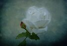 White Rose on Blue by Sandy Keeton