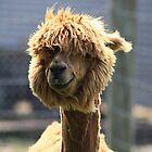 Alpaca by Alyce Taylor