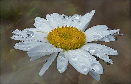 daisy drops by Helenvandy