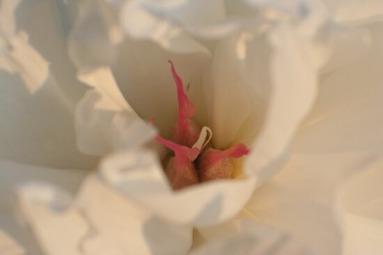 Centering on Peonies by Karen K Smith