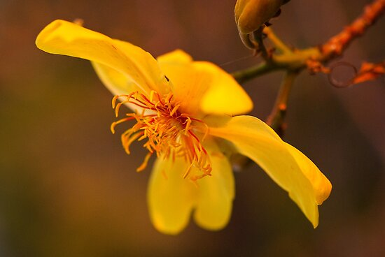 Kapok Flower, Castle Hill by Dieter Tracey