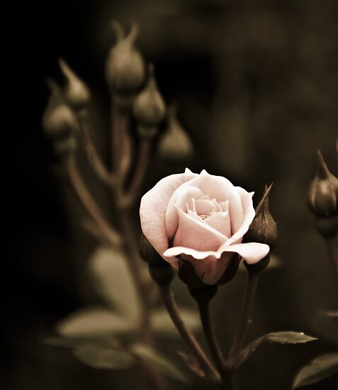 Rose - striving for light III by Ulla Jensen