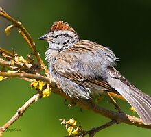 Chipping Sparrow by PixlPixi