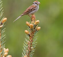 Chipping Sparrow with spider by PixlPixi