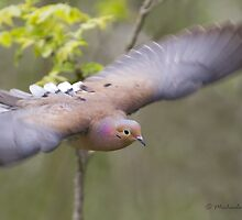 Mourning Dove in flight by Michaela Sagatova