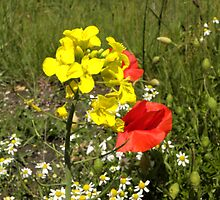 Poppies & Rape Seed by Eileen O'Rourke