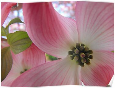 dogwood by iheartrhody