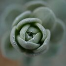 Succulent Rose by Jason Dymock Photography