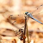 Dragon Fly by Adam Wignall