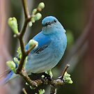 Bluebird Portrait #1 by Ken McElroy
