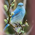 Bluebird Portrait #2 by Ken McElroy