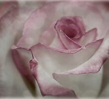 Antique rose by Celeste Mookherjee
