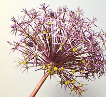 Allium by JEZ22
