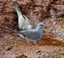 Diamond Doves - Tom Price WA. by Alwyn Simple