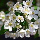 Blossom apple tree by Eduard Isakov