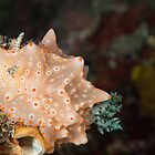 Orange and pink spotted nudibranch by Fiona Ayerst