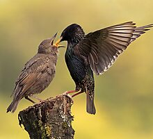 Starlings by Grant Glendinning