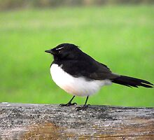 Fluffy Willy Wagtail by waxyfrog