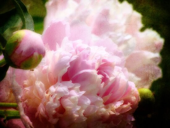 Visions of Peonies by vigor