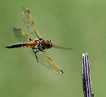 Dragon 1 To Control Tower / 4 Spotted Dragonfly by Gary Fairhead