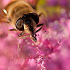Honey Bee macro by joelleherman