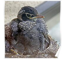 Baby Robins 11  Poster