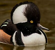 Hooded Merganser (lophodytes cucullatus) by Jeff Weymier