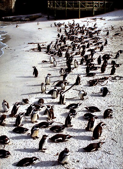 Colony of African Penguins, Boulder Beach, South Africa  by Carole-Anne