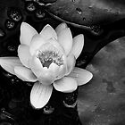 Water Lily by maxblack