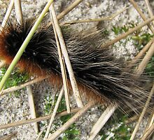Huge, Hairy, Hebridean Caterpillar - Woolly Bear by BlueMoonRose