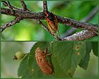 Cicada ~ Life Cycle by barnsis