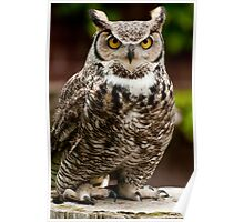 Barney the Great Horned Owl Poster