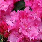 Pink Rhodies In Bloom by Pagani