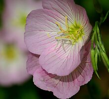 Evening Primrose by Brent McMurry
