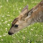 Close up of a young baby deer face by BrendaForsey