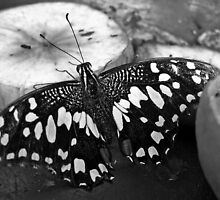 Black and White Butterfly by Matthias Keysermann