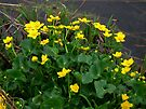 Glorious Kingcups by steppeland