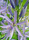 Indian Camas - Camassia quamash by MotherNature