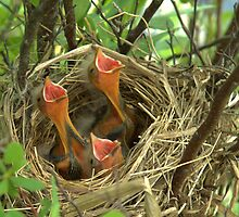 Red Wing Blackbird hatchlings by gregsmith
