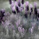 I love Lavender Dreams by linaji