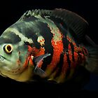 Astronotus ocellatus - Oscar, Velvet Cichlid, Marble Cichlid by bidkev