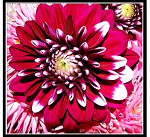 Gorgeous Red Flower Photographic Print