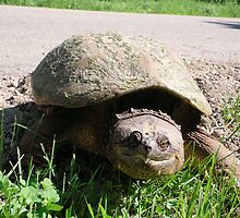 Huge Snapping Turtle Laying Eggs by Barberelli