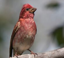 Male Purple Finch - Dunrobin, Ontario by Stephen Stephen