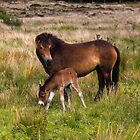 Exmoor Pony & Foal by David-J
