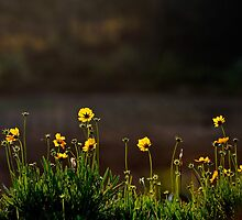 Yellow flowers in late afternoon sunlight. by Sheldon Levis